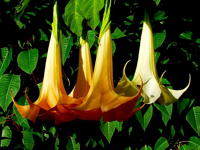 trumpet_flowers