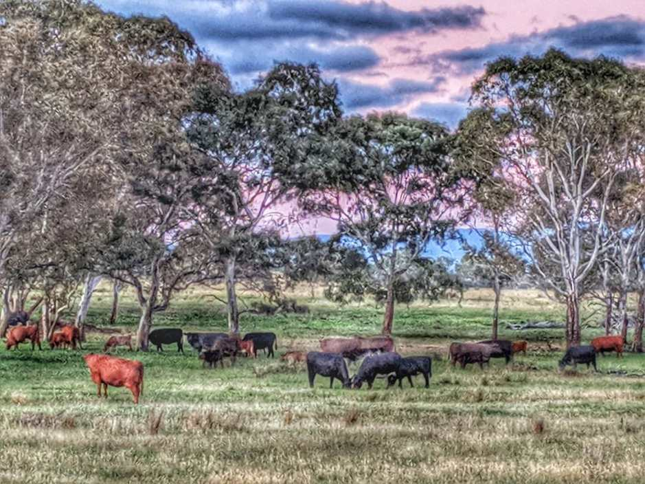 The Cattle Graze